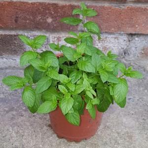 Menthol Herb