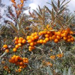 Ingredient Spotlight – Seabuckthorn Oil Part II thumbnail